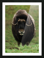 Muskox Picture Frame print
