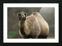 Camel Picture Frame print