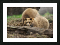 Grizzly Bear Picture Frame print