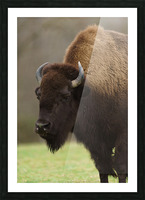 North American Buffalo Picture Frame print