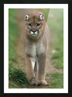 North American Cougar Picture Frame print
