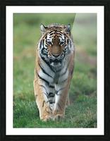 Siberian Tiger Picture Frame print