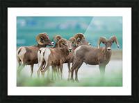 Bighorn Sheep Picture Frame print