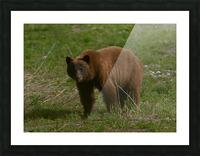 Cinnamon Black Bear Picture Frame print
