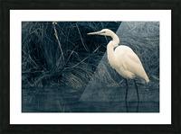 Great White Egret ap 1839 B&W Picture Frame print