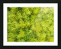 sedum angelina Picture Frame print