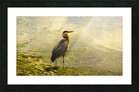Blue Heron At the Estuary Picture Frame print