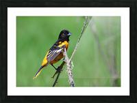 Baltimore Oriole Picture Frame print