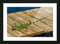 Cayman Green Iguana Eating Picture Frame print