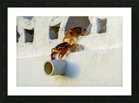 Cayman Crabs Picture Frame print