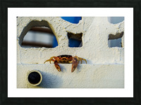 Cayman Crab Hanging Out Picture Frame print