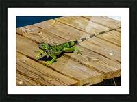Cayman Green Iguana On Alert Picture Frame print