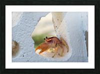 Cayman Crab  Picture Frame print