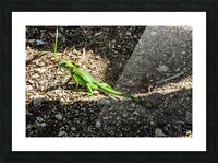 Cayman Young Green Iguana  Picture Frame print