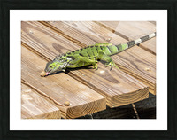 Cayman Green Iguana Snacking Picture Frame print