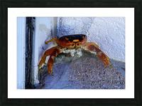 Cayman Cornered Crab Picture Frame print