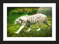 White Bengal Tiger Picture Frame print