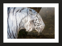 White Bengal Tiger 2 Picture Frame print