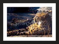 Cheetah Picture Frame print