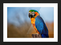 Parrot Picture Frame print