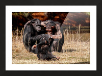 Chimpanzee Family Picture Frame print