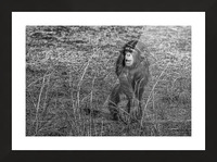 Baby Chimp 2 Picture Frame print