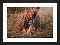 Orangutan Picture Frame print