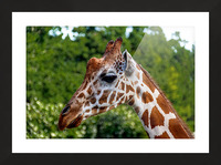 Reticulated Giraffe 1 Picture Frame print