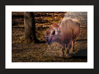 Bison Picture Frame print