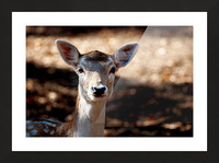 Fallow Deer 1 Picture Frame print