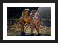 Bactrian Camel Picture Frame print