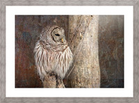 Barred Owl in Grunge Picture Frame print