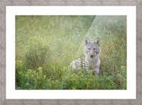 Eastern Coyote Picture Frame print