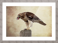 Meal Time for a Hawk Picture Frame print