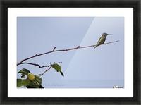 hummingbird 1 Picture Frame print