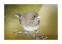 Dark Eyed Junco with Texture Picture Frame print