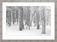 Pines at the Skyline Trail Picture Frame print