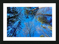 Towering Trees Bright Blue Sky Picture Frame print