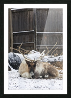 Enjoying the Snow  Caribou   Picture Frame print