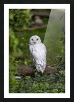 Yellow Eyes  Snow Owl  Picture Frame print