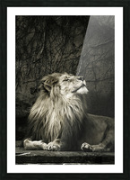 Chill of the Day  Lion  Picture Frame print