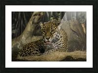 Morning Bath  Jaguar  Picture Frame print