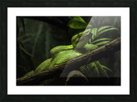 High Detail  Green Boa  Picture Frame print