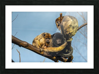 Eyes in the Trees  Howler Monkey  Picture Frame print