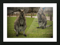 Intriguing   Wallaby  Picture Frame print