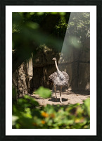 Feathers Fluffed  Ostrich  Picture Frame print