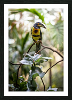 Standing Out  Tucan  Picture Frame print