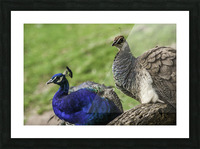 His and Hers  Peacock  Picture Frame print