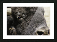 Reflection of a Buffalo Picture Frame print