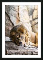 Connection  Lion  Picture Frame print